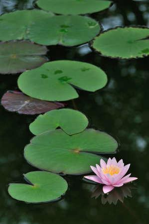 lirio acuatico: Lirio de agua rosado en el estanque