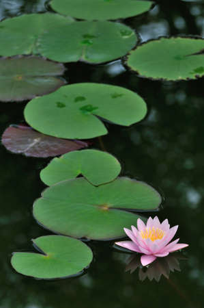Pink water lily in the pond Imagens - 22348305