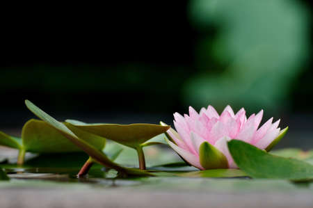 Pink water lily in the earthen jar  photo