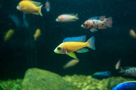 Cyphotilapia frontosa fish. Stock Photo - 23677010