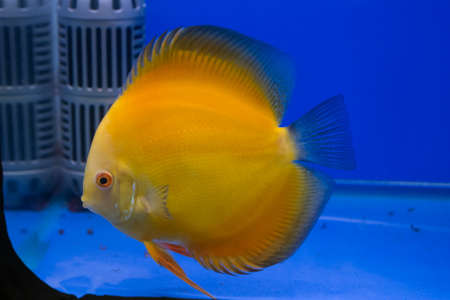 Discus or Symphysodon fish in aquarium. photo