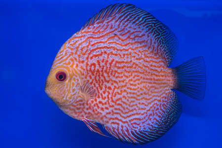 fishtank: Discus or Symphysodon fish in aquarium.