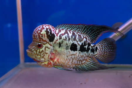 Cichlid fish. Stock Photo