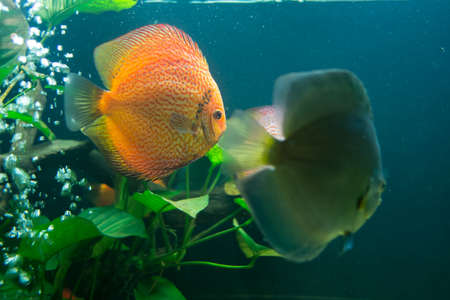 Discus or Symphysodon fish in aquarium Stock Photo - 23847573