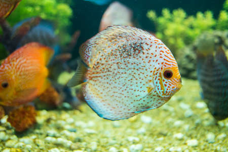 Discus or Symphysodon fish in aquarium  photo