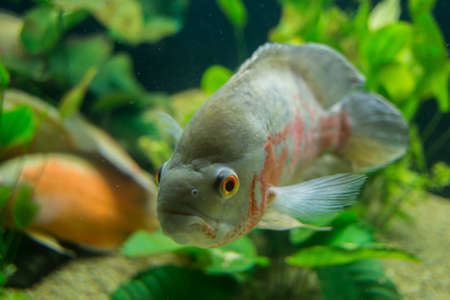 Cichlid fish  photo