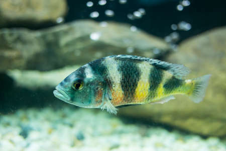 cyphotilapia: Cyphotilapia frontosa fish  Stock Photo