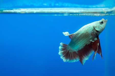 Siamese fighting fish in the aquarium  photo