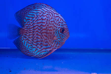 Discus or Symphysodon fish in aquarium Stock Photo - 24174203