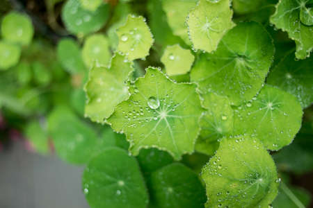 Dew and guttation on Centella asiatica leaf in the morning  photo