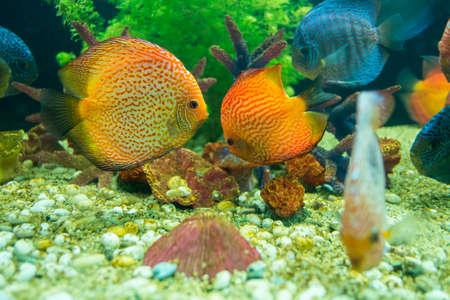 Discus or Symphysodon fish in aquarium  Stock Photo - 24354102