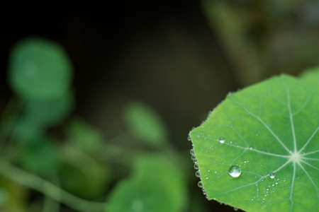 Orvalho e guttation em Centella asiatica folha na parte da manh Banco de Imagens