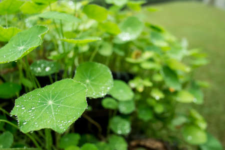 Dew and guttation on Centella asiatica leaf in the morning
