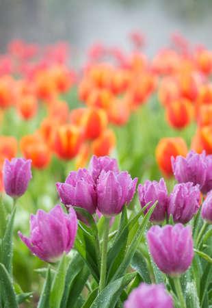 Tulipa colorida no jardim