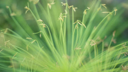 sedge: Egyptian papyrus sedge plant  Stock Photo