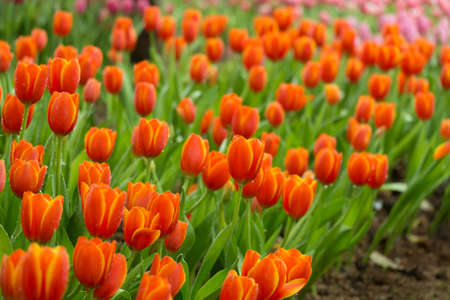 Colorful tulip flower in the garden  Stock Photo