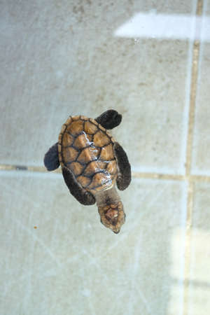 Little Chelonia mydas or Green sea turtle at sea turtles conservation center royal thai navy  photo