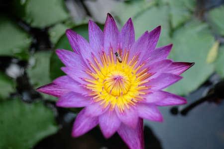 earthen: Giglio di acqua viola in vaso di terracotta