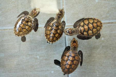 Little Chelonia mydas or Green sea turtle at sea turtles conservation center royal thai navy  Stock Photo