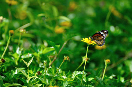 Common tiger butterfly swarms on yellow sulfur cosmos flower in the field   photo