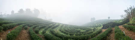 Panorama view of tea field among mist in the morning at Doi Wavee, Thailand  photo