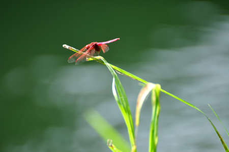 Red dragonfly grabs on the grass.