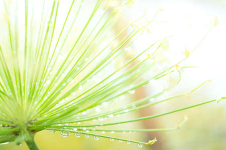 Egyptian papyrus sedge plant with dew after raining. Stock Photo
