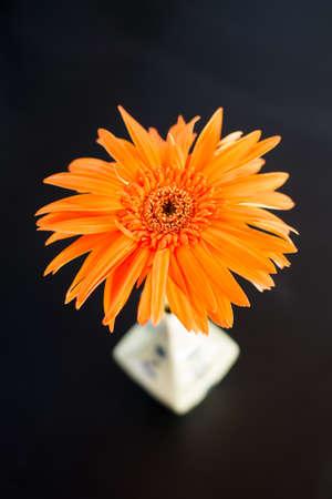 Orange daisy flower in white vase on black background.
