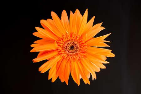 Orange daisy head flower on black background. Stock Photo