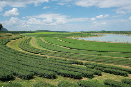Tea farm at Singha Park Chiang Rai, Thailand. Stock Photo