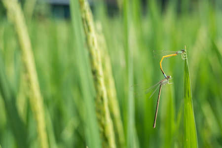 Mating dragonfly in rice field.