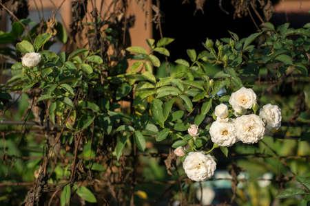 White rose tree.