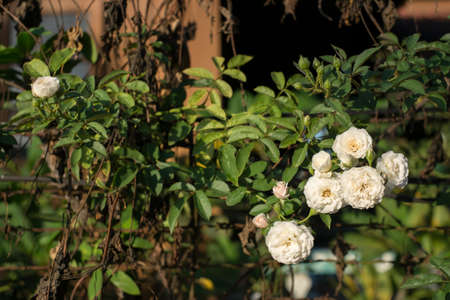 White rose tree.
