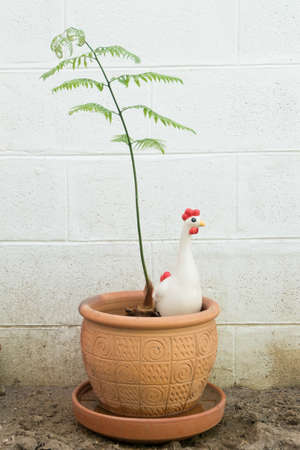 Golden chicken fern with ceramic hen in the earthenware pot.