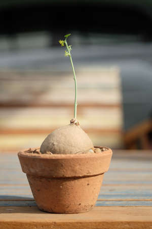 Little Stephania erecta Craib, euphorbia plant in the pot.