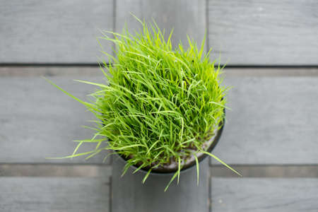 Top view of little rice plant in the black bowl for decorate hotel. Reklamní fotografie