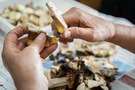 Cleaning of porcini mushrooms: detail on two human hands that eliminate the not good parts of a mushroom with a knife
