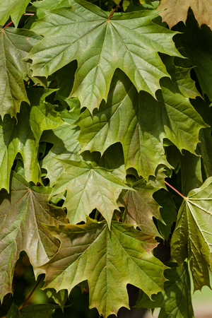 developed: Background of newly Developed by lush green spring maple leaves