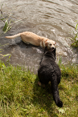 romp: Black and white dog playing in the grass and in the water on the river bank Stock Photo