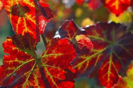 lambrusco: Leaves of Vine Stock Photo