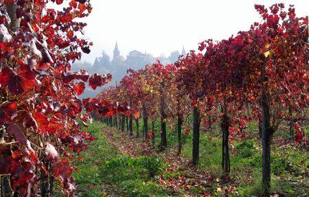 lambrusco: Vine yard Stock Photo