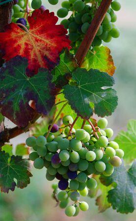 lambrusco: Bunch of grapes