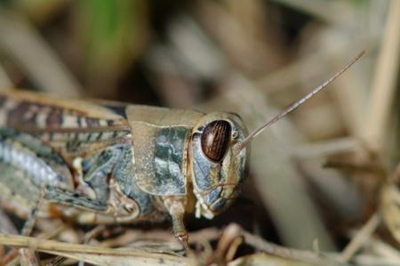 pinchers: Grasshopper