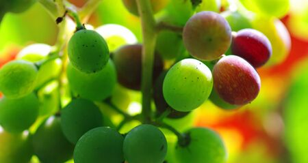 lambrusco: A bunch of green and red grapes