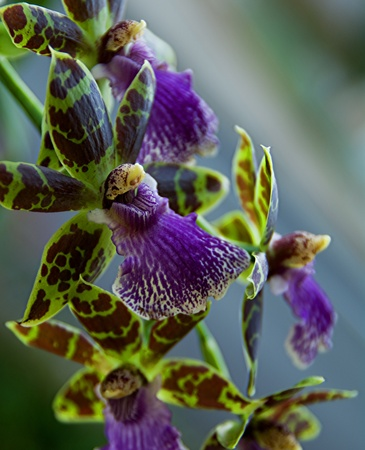 Zygopetalum Stock Photo - 10255872