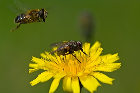 booked: Hover fly finds the runway occupied