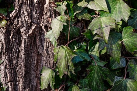 Beautiful, wild ivy on tree bark in the park. Ivy is weaving on wood.