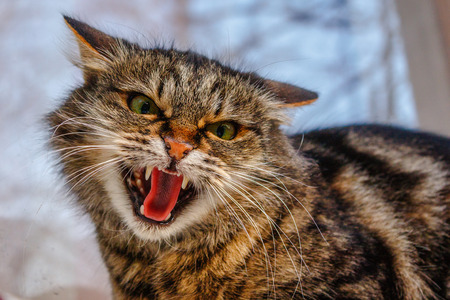 A ferocious, evil cat on the windowsill on the street. Angry, mistrustful cussing cat. The cat looks maliciously, incredulously. An evil cat, hisses with an open mouth. The cat shows teeth. Stock Photo