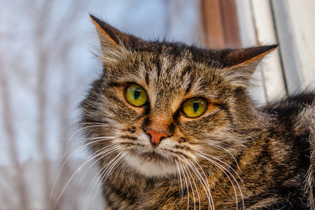 A ferocious, evil cat on the windowsill on the street. Angry, mistrustful cussing cat. The cat looks maliciously, incredulously.