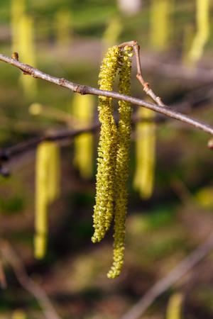 Earrings of alder shrub in the yard